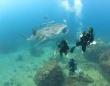 「ニンゲンさん、はじめましてこんにちは」人懐っこいジンベイザメの赤ちゃんと泳ごう