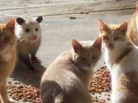 猫ズのご飯風景…と思ったら違う奴がいるぅ~!猫に混じるオポッサム、しれっとご飯を召し上がる