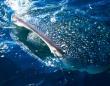 ジンベイザメの目は大量の歯に似たウロコで覆われていた(日本研究)