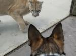 動物園のピューマを前にした瞬間逃げようとする大型犬「こいつには勝てない…」