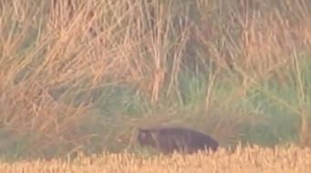 ヒョウ?ヤマネコ?それともUMA?イギリスでミステリアスな大型ネコ科っぽい生物の姿がとらえられる。