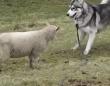 また会えてうれしいよう!ハスキーと羊のきゃっきゃうふふタイム