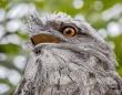 最もインスタ映えする鳥、ナンバーワンに選ばれたのは「ガマグチヨタカ」だった!