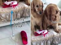「俺じゃない、コイツだ」スリッパを食いちぎったのは誰?に対する2匹の犬の反応