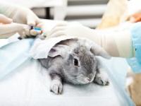 痛くても鳴き声を出さないウサギで実験(shutterstock.com)