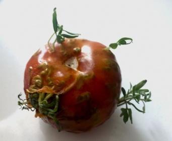 植物の発芽パワーの凄さがわかる果物や野菜の12の画像