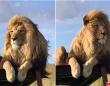 イケメンがすぎる。王者の風格とイケメンオーラを身にまとったライオンの動画