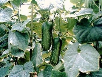 金沢市農産物ブランド協会「加賀野菜」ウェブサイトより