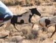 白馬を宿した馬!?体に馬の模様がある美しい野生馬が救出される(アメリカ)