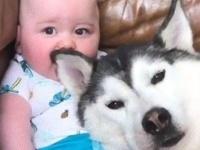 ハスキーと赤ちゃんの仲良し動画に世界がほっこり