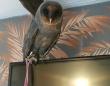 10万羽に1羽の確率で存在する世にも珍しい黒いメンフクロウ(イギリス)