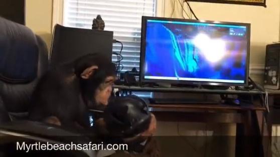 チンパンジーがVR
