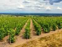仏ボジョレーのワイン畑(「Thinkstock」より)