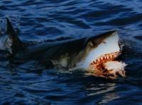 ホホジロザメ 画像は「Wikipedia」より引用