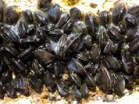 ムラサキイガイ 画像は「Wikipedia」より引用