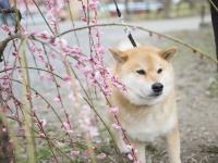 春はすぐそこ! 柴犬まるがおすすめするペットOK梅スポット5選