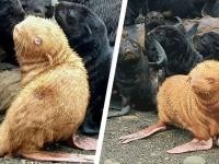 10万分の1の確率で生まれたアルビノのオットセイの赤ちゃん。オレンジ色の体毛にピンク色のヒレ(ロシア)
