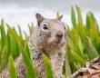 アメリカで野生のリスに腺ペストの陽性反応。人や家畜への感染の可能性を当局が警告