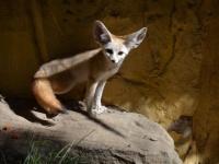 お客のいない空っぽの動物園で、フェネックが館内を大冒険(アメリカ)