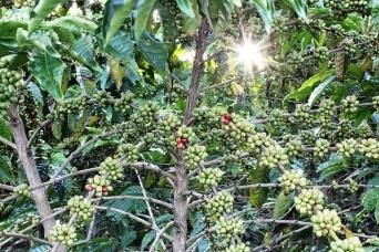 コーヒーの廃棄物が森を劇的に回復させるという研究結果が報告される