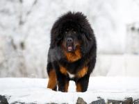 世界一高価な犬。約2億円で取引されたチベタン・マスティフ