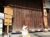 柴犬まるが紹介する岐阜の旅~まる、飛騨高山に行く~