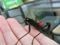 ナナフシの七不思議。東京ドームぐらいの面積にしか生息していない漆黒で赤い翼、黄色い目を持つ「ブラックベルベット」