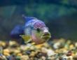水が濁っていると、混乱した交尾によって新種を創り出してしまう魚の存在が確認される