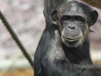 グルメなのは人間だけじゃなかった! チンパンジーも実は料理した食材が好物と判明