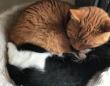 道路でうろうろしていた白黒子猫、保護されたお宅でしっぽり家族に