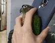 インコのカーリーさん、スマホを持つ飼い主さんの手のひらにすっぽり