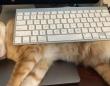 何とかしてキーボードを奪還したい!パソコンの邪魔をしに来る猫との攻防戦に挑む飼い主たち