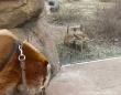 猪散歩。ミーアキャット、初めて見るイノシシに好奇心が加速する(アメリカ)