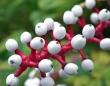 見られてる?目玉のような実がたくさんなる木 「ホワイト・ベインベリー」