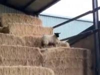 羊の脱走犯現る!干し草の山を超えて逃亡を企てた羊の束の間のアドベンチャー