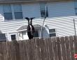 「お外が見たい!」の一念でジャンプジャンプ!グレートデーンのトランポリンでの跳躍力がすごかった