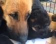 寝心地の良さは抜群?ふわもこキュートな子犬たちを枕にうとうとしちゃうお母さん