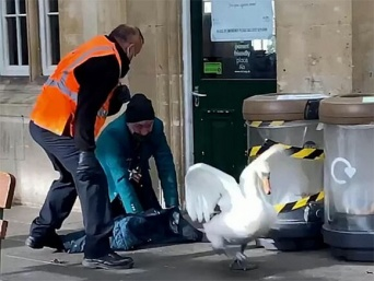 イギリスでは白鳥は王室扱い。駅に進入した2羽の白鳥を追い出すのに悪戦苦闘する駅員たち