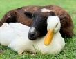 保護されたヤギと歩けないアヒルがベストフレンドに(アメリカ)