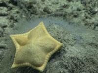 おいしそうすぎる?アメリカ南東部の深海でラビオリのようなヒトデを発見
