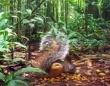 本当に「吸血リス」なのか?尻尾の大きなのボルネオ島のリスの食生活が明らかに