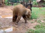 慌てて走ったゾウの子供がずっこけてしまう様子がかわいらしい!