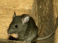 中国で盗みを働いたネズミが見せしめに!?
