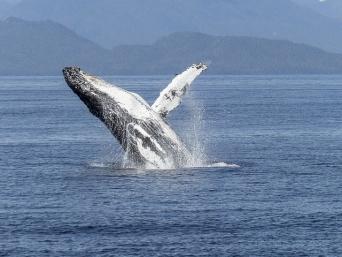 クジラ漁が日本の戦争責任を追及する材料に