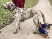 身体は大きいけど心も広いよ!優しいデカ犬アイリッシュ・ウルフハウンドを愛でる写真集