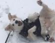 雪が降るとテンションマックス!転がりまわって犬拓をつけまくる犬