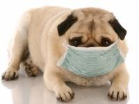 米国でイヌの「インフルエンザ」が大流行(depositphotos.com)