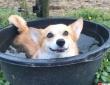 ワクワクバスタイムを楽しみたいコーギー犬、近づく犬や馬を徹底排除。でもその水が入っている容器って...