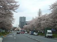 国立市大学通りの桜並木(「Wikipedia」より)