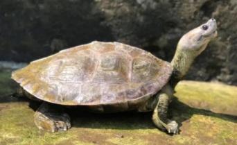 笑顔に見える亀、一度は絶滅したと思われていたが熱心な保護活動で危機を免れる(ミャンマー)